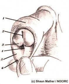 Vorhaut und Vorhautbändchen - (Penis, Vorhaut, Urologie)
