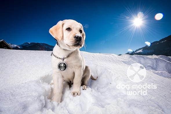 Unser Labi Michu - (Hund, spielen, Welpen)