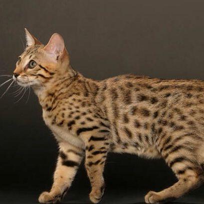 Hier siehst du eine Bengal :D - (Haustiere, Katzen, Design)