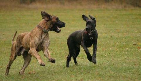 - (Hund, Dogge)