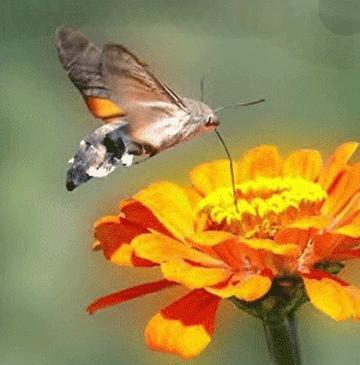 Ein Taubenschwänzchen im Schwirrflug. Deutlich zu sehen der lange Rüssel, mit dem sie Nektar aus der Blüte saugt. - (Tiere, Schmetterling)