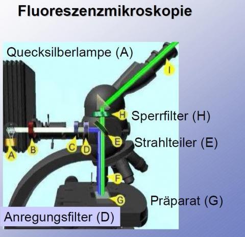 So ist ein Fluoreszenzmikroskop aufgebuat - (Schule, Referat)