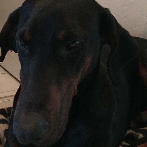Kupierten Dobermann Kaufen Legal Hund