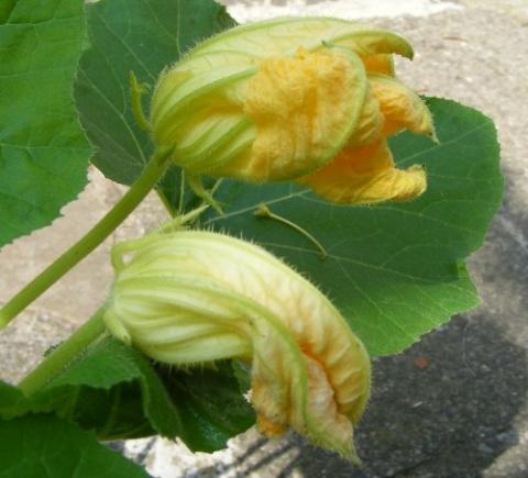 hokkaido kürbis pflanzen