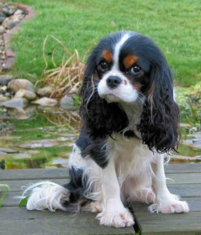 Cavalier-King-Charles-Dame Quara v. Eversten Holz - (Hund, Hundehaltung)