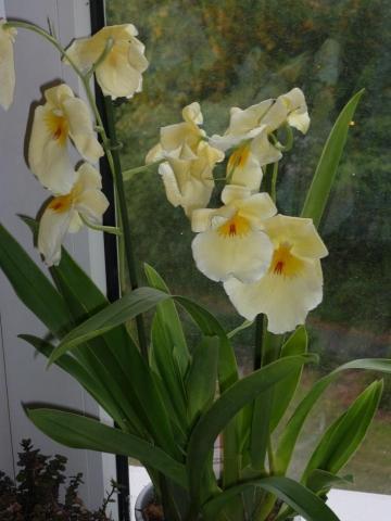 ist diese orchidee noch zu retten krankheit pflanzen. Black Bedroom Furniture Sets. Home Design Ideas