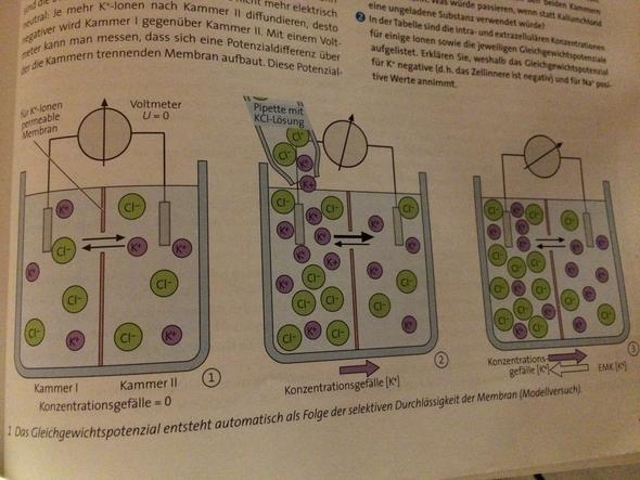 - (Biologie, gleichgewichtspotenzial)