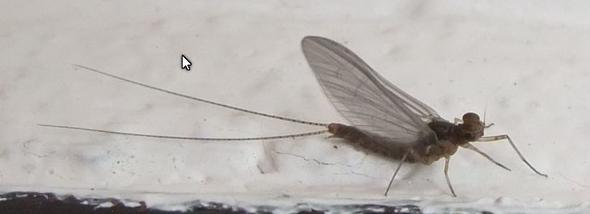 welches fliegende insekt ist das tiere insekten. Black Bedroom Furniture Sets. Home Design Ideas