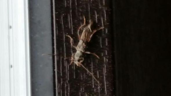 fliegende k fer mit langen f hlern im haus insekten ungeziefer. Black Bedroom Furniture Sets. Home Design Ideas