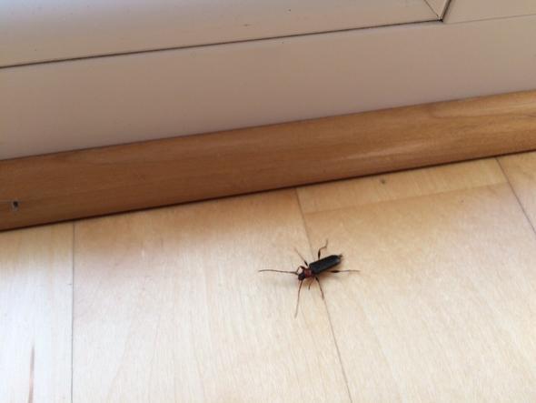 welches insekt bef llt unser haus insekten kaefer. Black Bedroom Furniture Sets. Home Design Ideas
