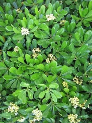 Klebsame - (Freizeit, Blumen)
