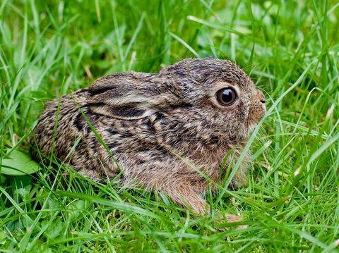 Wildkaninchen oder feldhasenbaby gefunden tiere baby kaninchen - Steckbrief feldhase grundschule ...