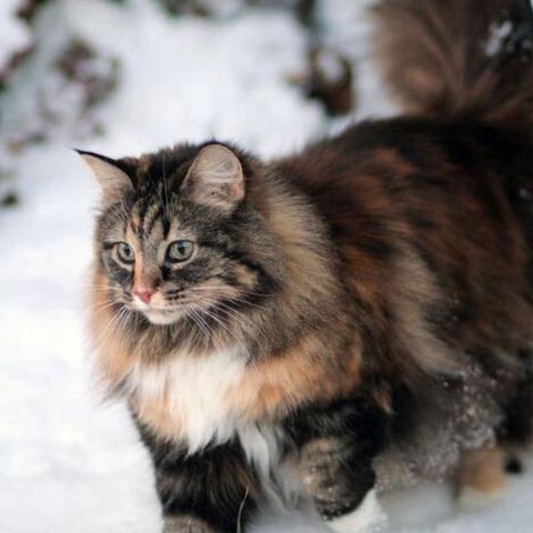 Norwegische Waldkatzen (:  - (Tiere, Katzen)
