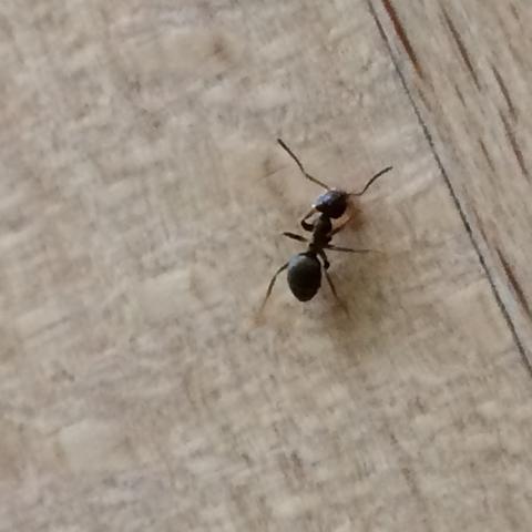 ameisen im haus insekten loswerden. Black Bedroom Furniture Sets. Home Design Ideas