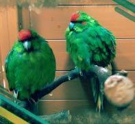 Unsere Kakarikis - (Vögel, Baum, Gift)
