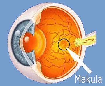- (Biologie, Augen)