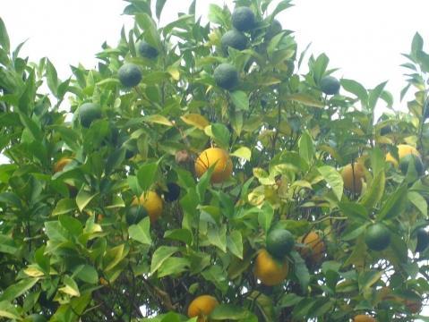 Foto1 - (Baum, Landwirtschaft, Orange)