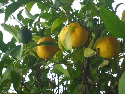 Foto2 - (Baum, Landwirtschaft, Orange)