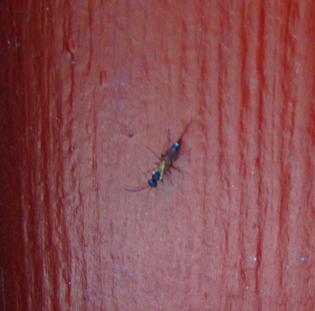 was sind das f r holzfressende insekten hnlich fliegende ameise und defintiv keine. Black Bedroom Furniture Sets. Home Design Ideas