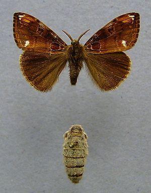 Bürstenspinner oben Männchen unten Weibchen - (Tiere, Insekten)