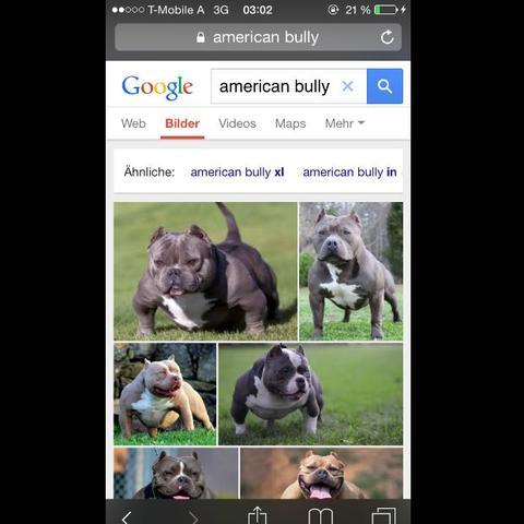 Ist Der Bully Ein Listenhund Hund Hessen Listenhunde