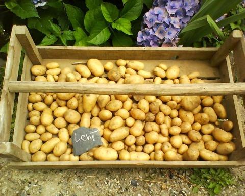 Erste kartoffeln im Sommer - (Garten, Landwirtschaft, Kartoffeln)