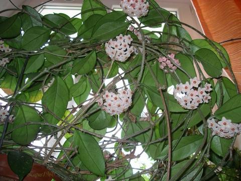 Porzellanblumen - (Ratgeber, Pflanzen, Zimmerpflanzen)