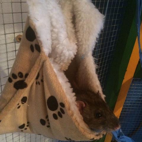 Einer meiner Racker :-) - (Haustiere, Ratten)