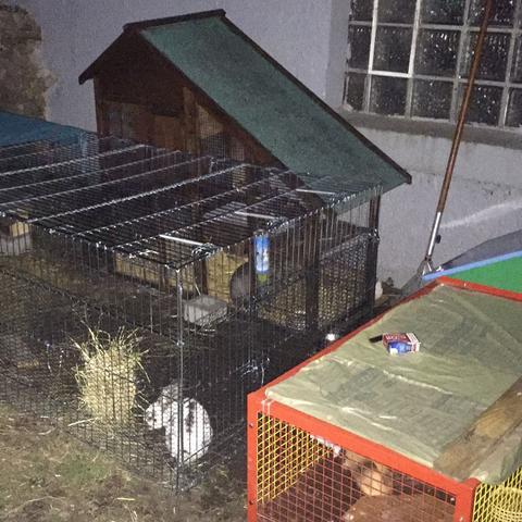 Hasen  - (Tiere, Kaninchen)