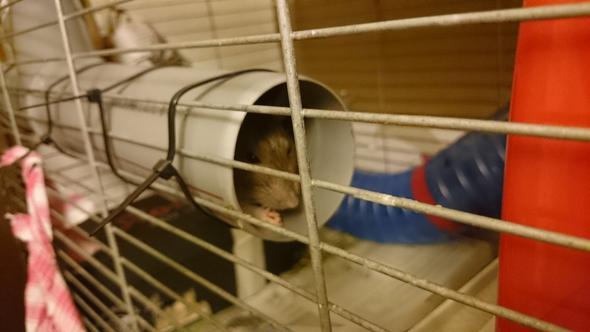 Röhrenversteck - (Haustiere, Ratten, Pflege von Tieren)