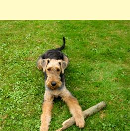 wie lange darf man einen airedal terrier welpen alleine lassen hund. Black Bedroom Furniture Sets. Home Design Ideas