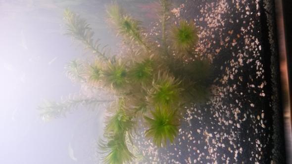 Die Pflanze die bräunlich wird... - (Aquarium, Aquaristik)