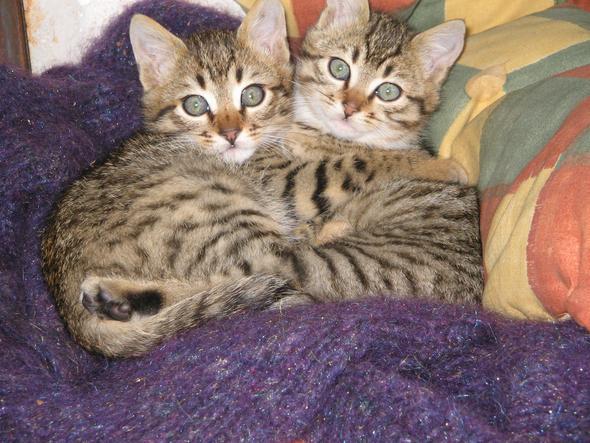 tigerkaetzchen - (Katze, Haustiere)
