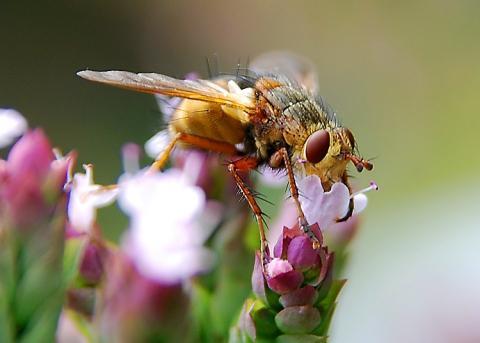 Bilduntertitel eingeben... - (fliegen, Insekten)