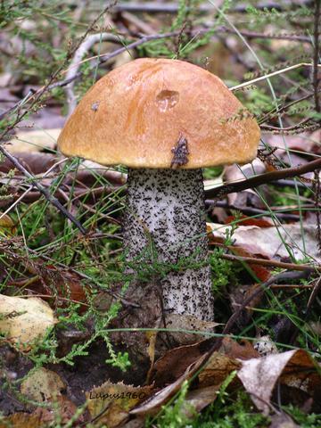 Rotkappe - (Pilze, Naturschutz)