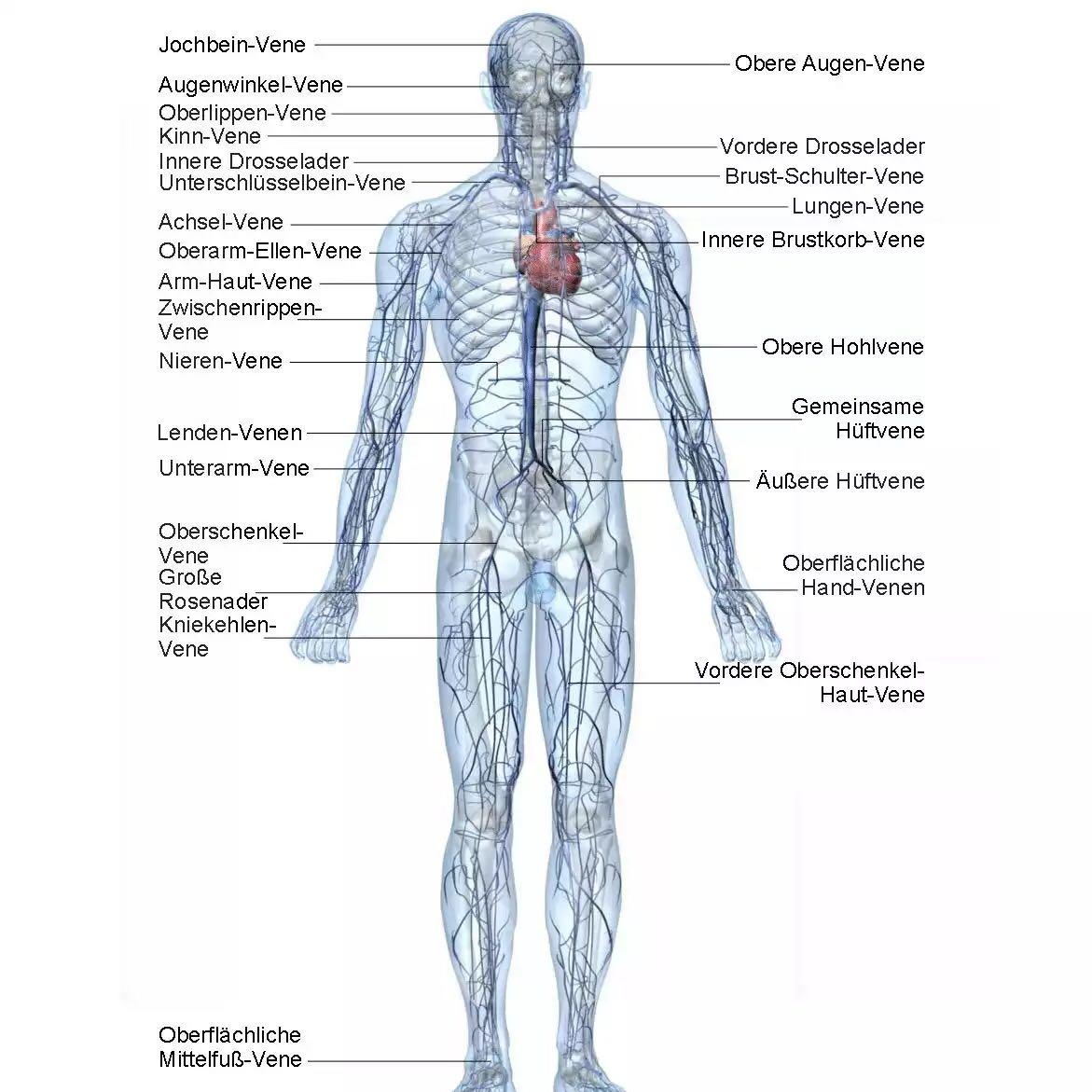 Beste Die Körperanatomie Organe Galerie - Anatomie Ideen - finotti.info