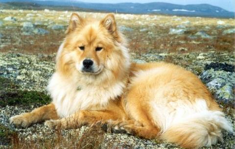 Eurasier - (Tiere, Hund, Tierhaltung)
