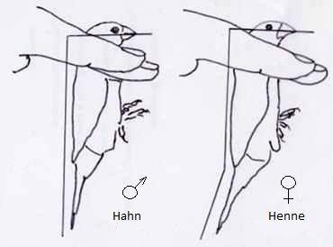 wie erkennt man einen m nnlichen und einen weiblichen kanarienvogel v gel geschlecht. Black Bedroom Furniture Sets. Home Design Ideas