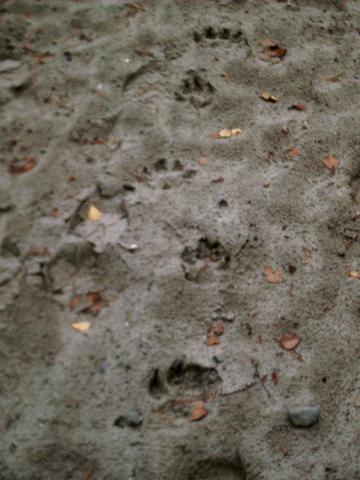 Wolfsspur - (Tiere, Wolf, Wölfe)