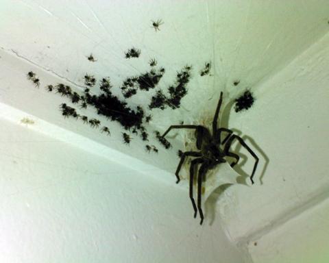 stimmt das oder ist das falsch wunde spinnen weberknecht. Black Bedroom Furniture Sets. Home Design Ideas