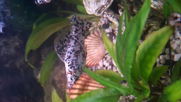 Das männchen - (Krankheit, Fische, Aquarium)