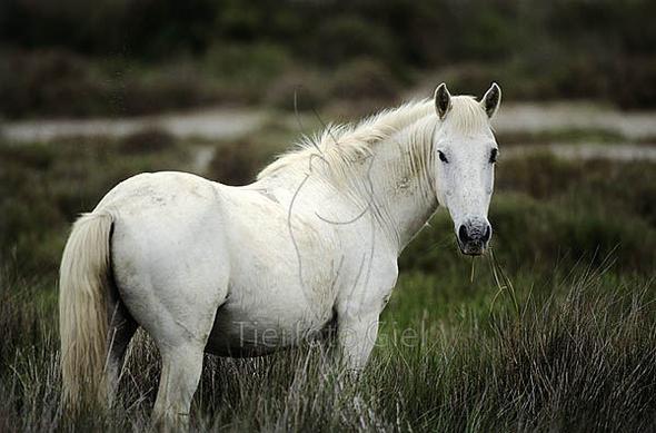 Ein paar Bilder von Camaraguepferden - (Pferde, Reitsport)