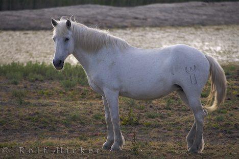 Diese werden als Rappen, Braune oder Füchse geboren... - (Pferde, Reitsport)