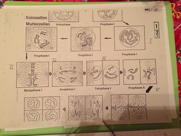 Biologie Wie ordnet man Mitose Phasen bildern zu? (Schule)