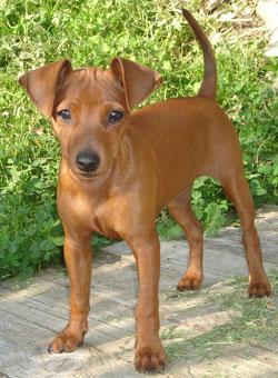 Zwergpinscher - (Hunderasse, simon)