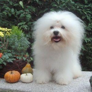 Bologneser - (Hund, Terrier, Jagdhund)