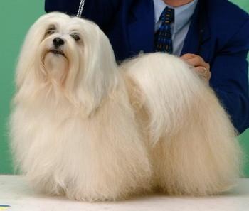 Havaneser mit langem Haar - wenn man will.... - (Hund, Terrier, Jagdhund)