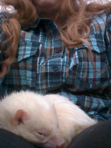 schlafendes Frettchen - (Haustiere, Hasen, Frettchen)