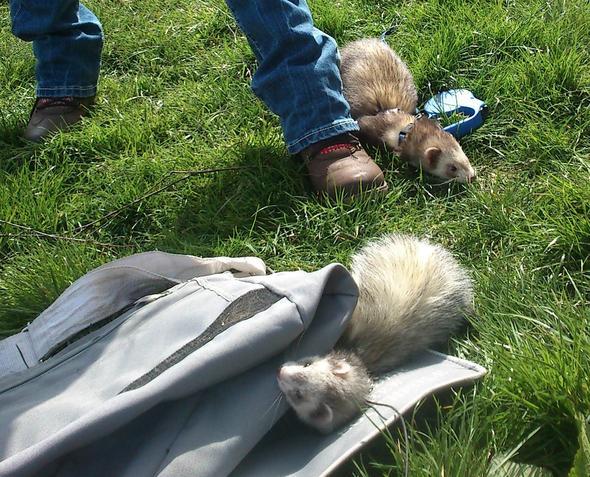 Frettchen beim Spaziergang (der Rest der Bande) - (Haustiere, Hasen, Frettchen)