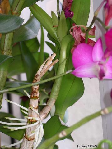 Dendrobium mit Kindel - (Botanik, Orchideen)